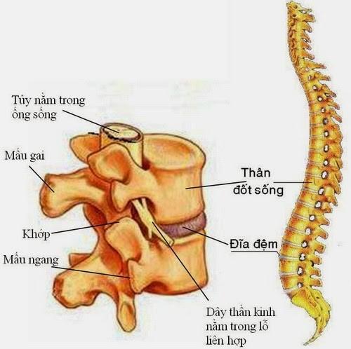 Cấu tạo đốt sống thắt lưng - thoát vị đĩa đệm cột sống thắt lưng là gì