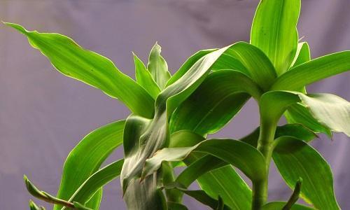 Dùng cây lược vàng chữa đau lưng cực hiệu nghiệm-3