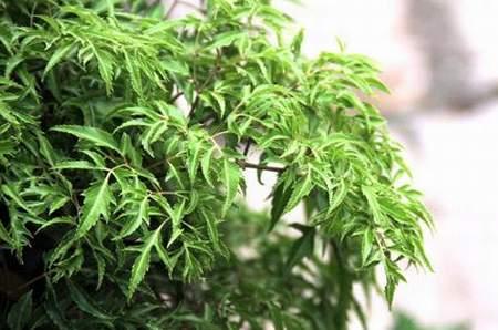Chữa trị bệnh đau lưng bằng cây thuốc Nam sẵn trong vườn-4